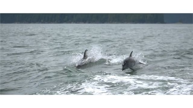 CLIP: Wild Pacific White-Sided Dolphins putting on a show during the G85 expedition for @lumixcan @lumix 🎥 @erictam_ 📸 @northof49photography . . . . . . . #dolphins #createcommune #createexplore #votd #lumixcan #lumix #wildlife #sustainablefashion #sustainability #visualsoflife #visualsofearth #videographer #nature #torontovideographer #lumixstories #vuepoint