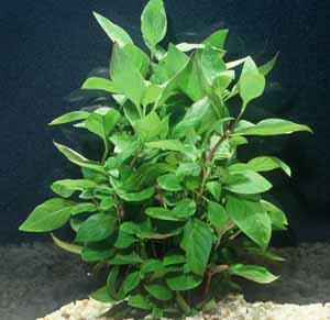 Alternanthera ficoidea var. 'cherry stem' - (terrarium plant)