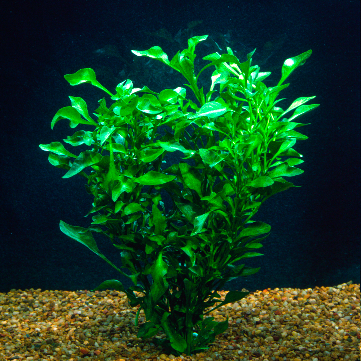 Alternanthera ficoidea var. 'green' - (terrarium plant)