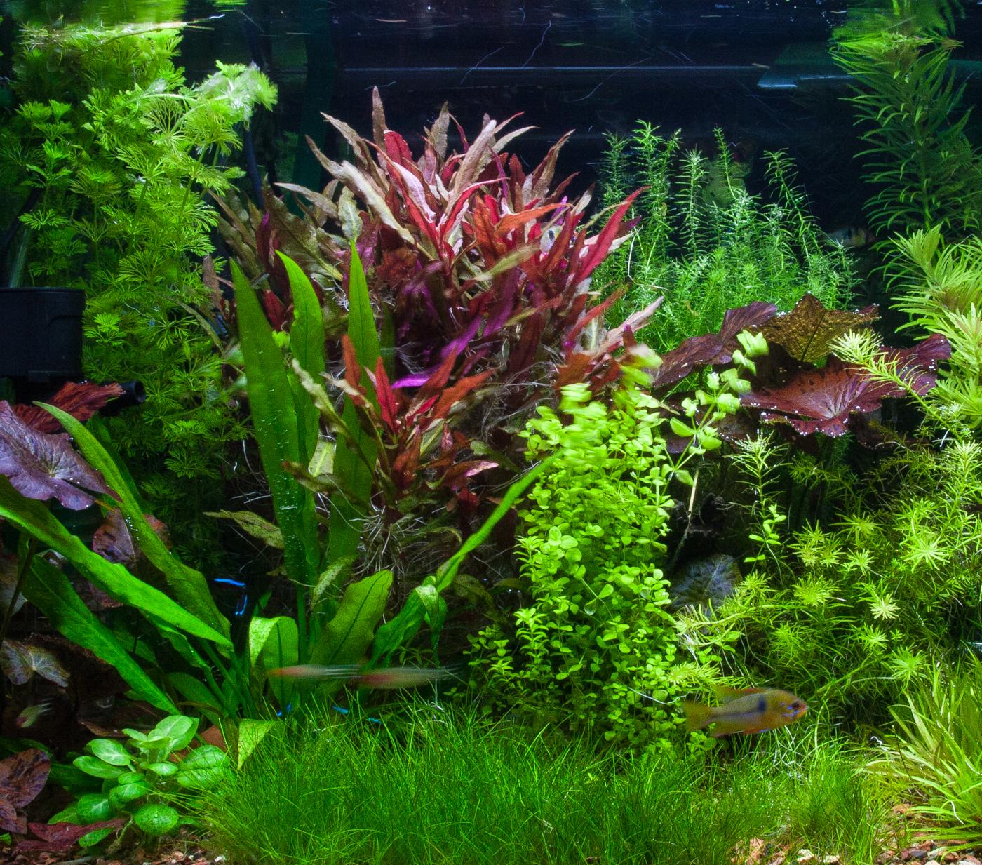 Aquarium Plants Florida Aquatic Nurseries