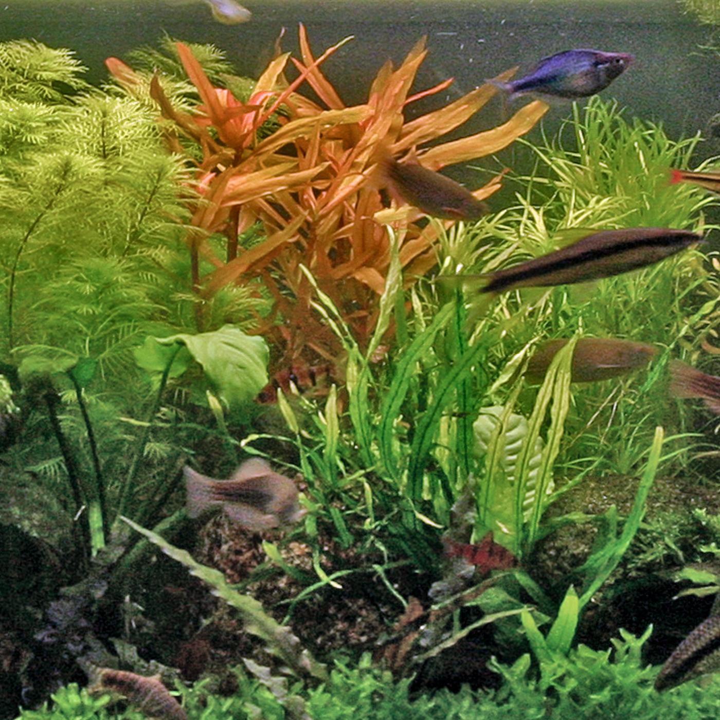 Ammannia gracilis -