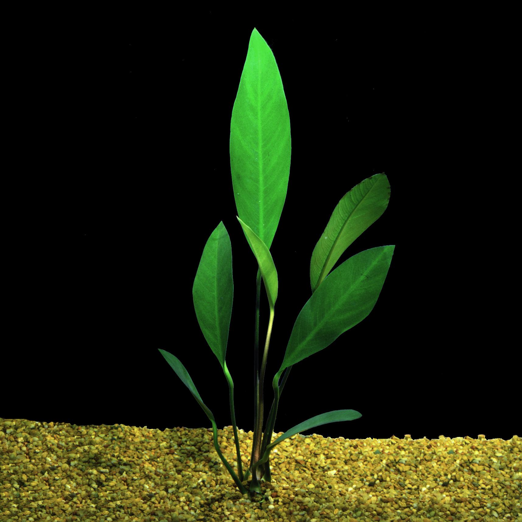 Anubias barteri 'angustifolia' -