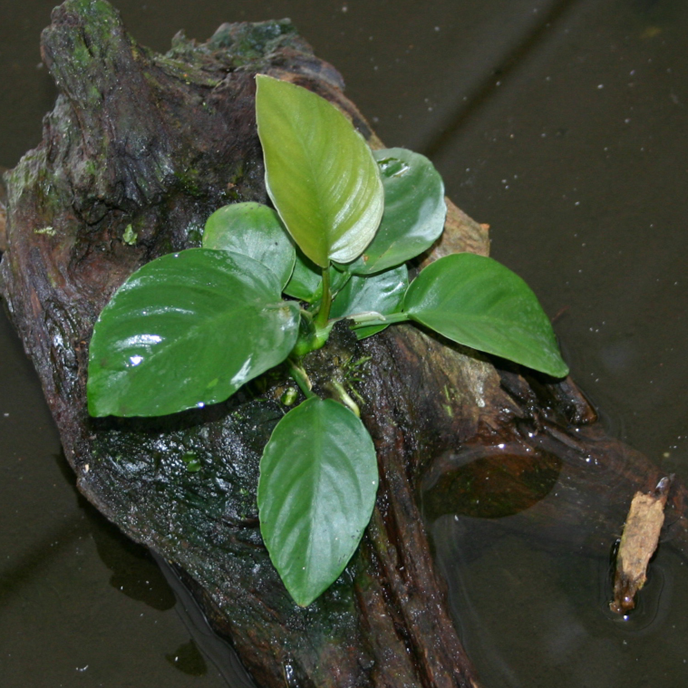 Anubias barteri var. 'broad leaf' -