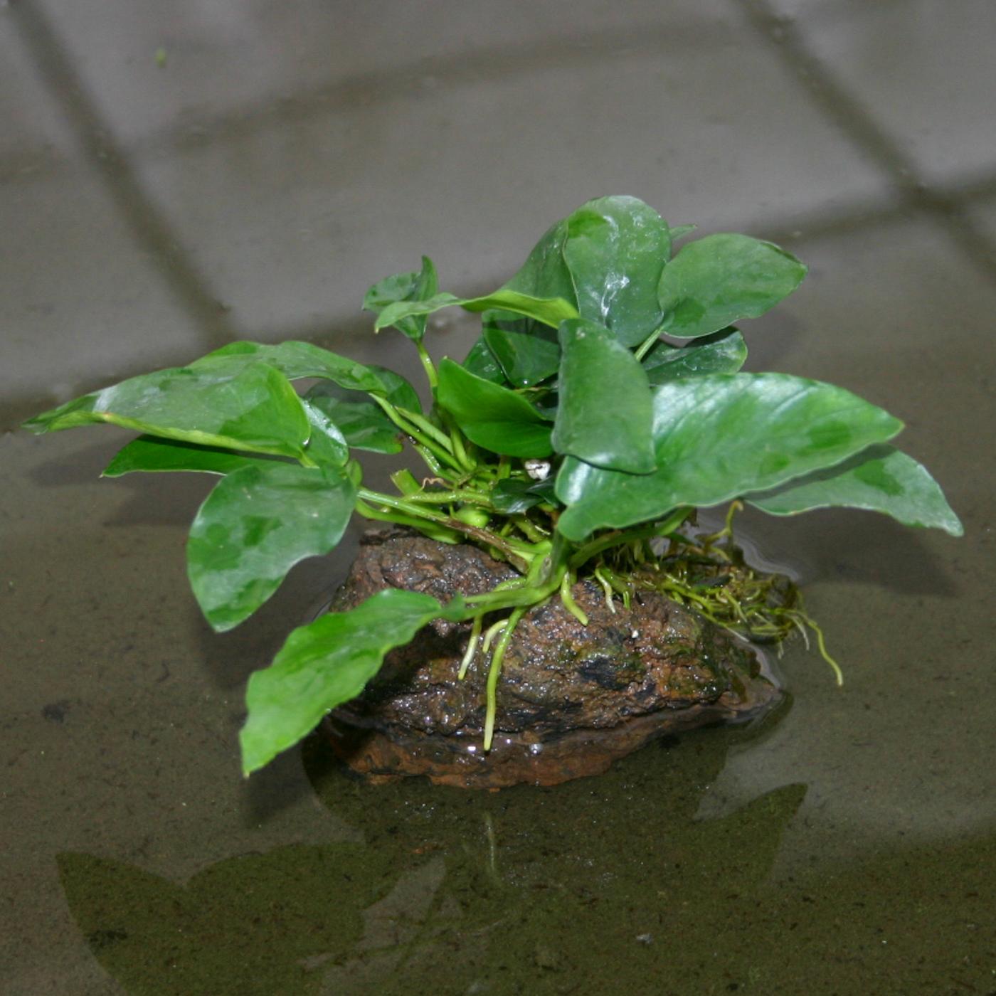 Anubias barteri var. 'nana Narrow Leaf' -