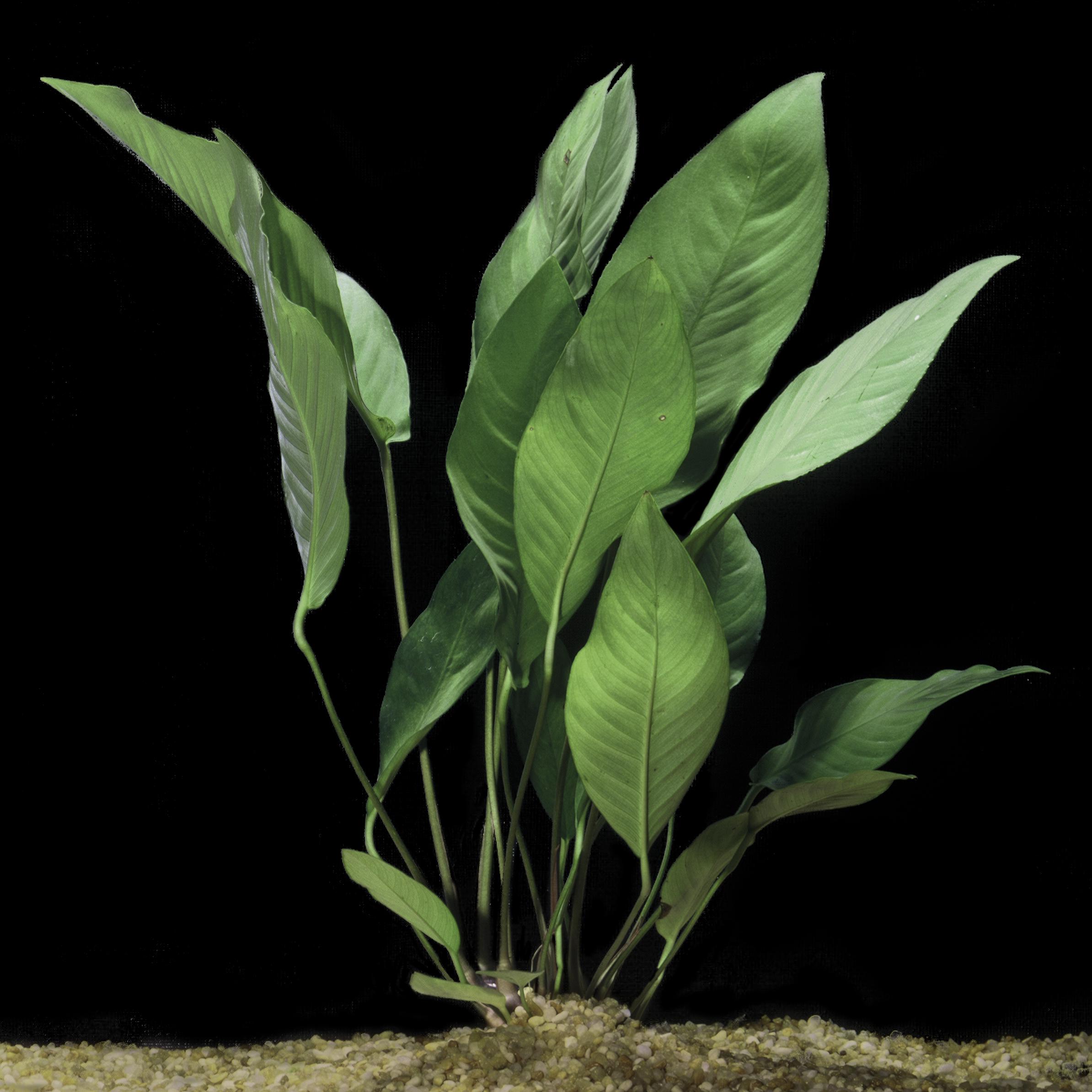 Anubias heterophylla -