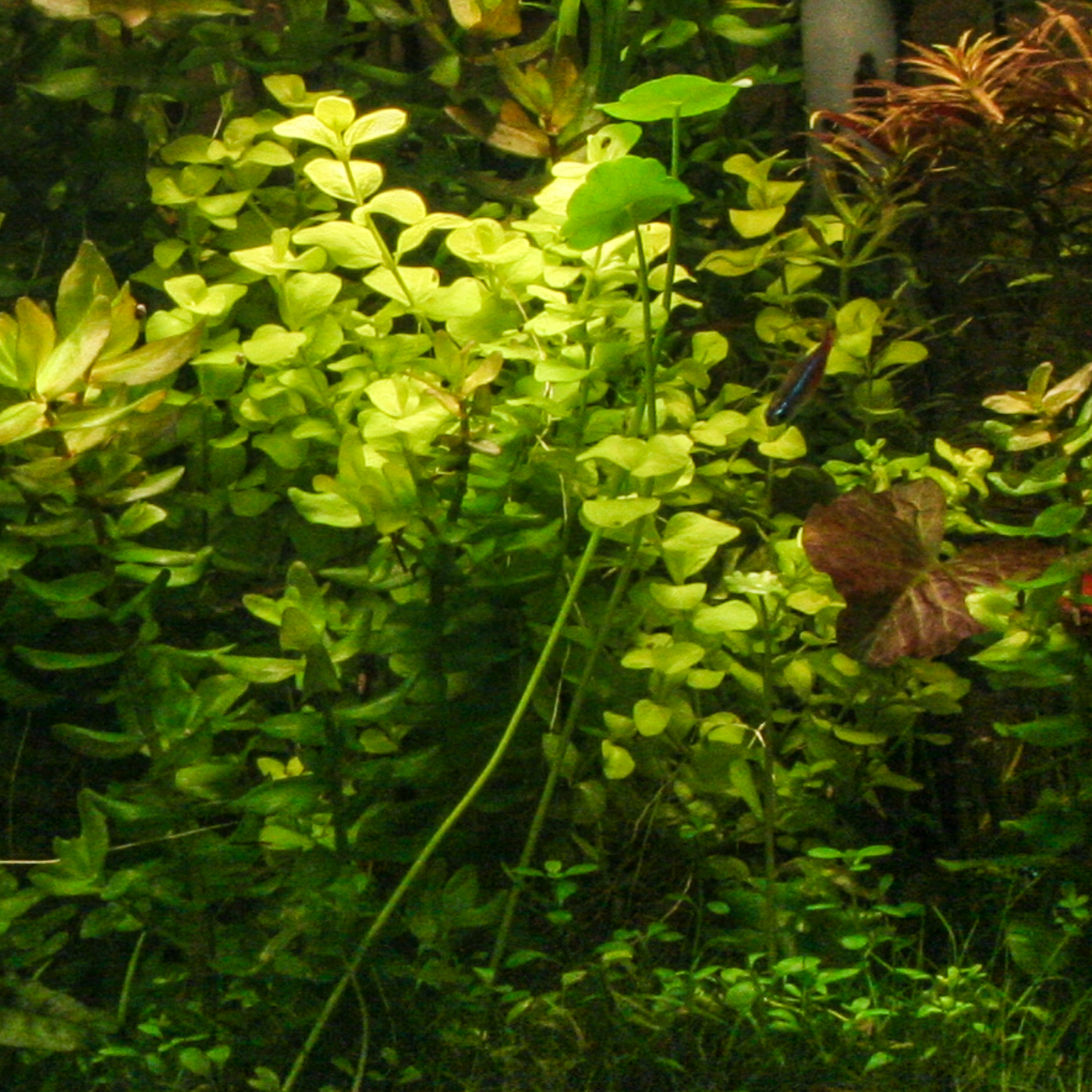 Bacopa australis (1 of 1).jpg