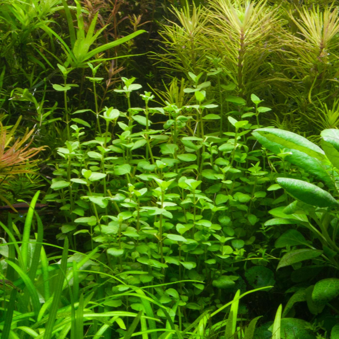 Bacopa australis -