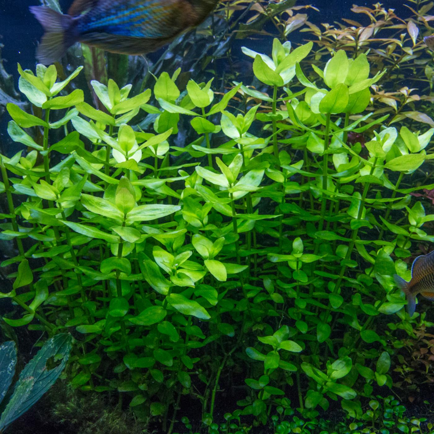Bacopa caroliniana -