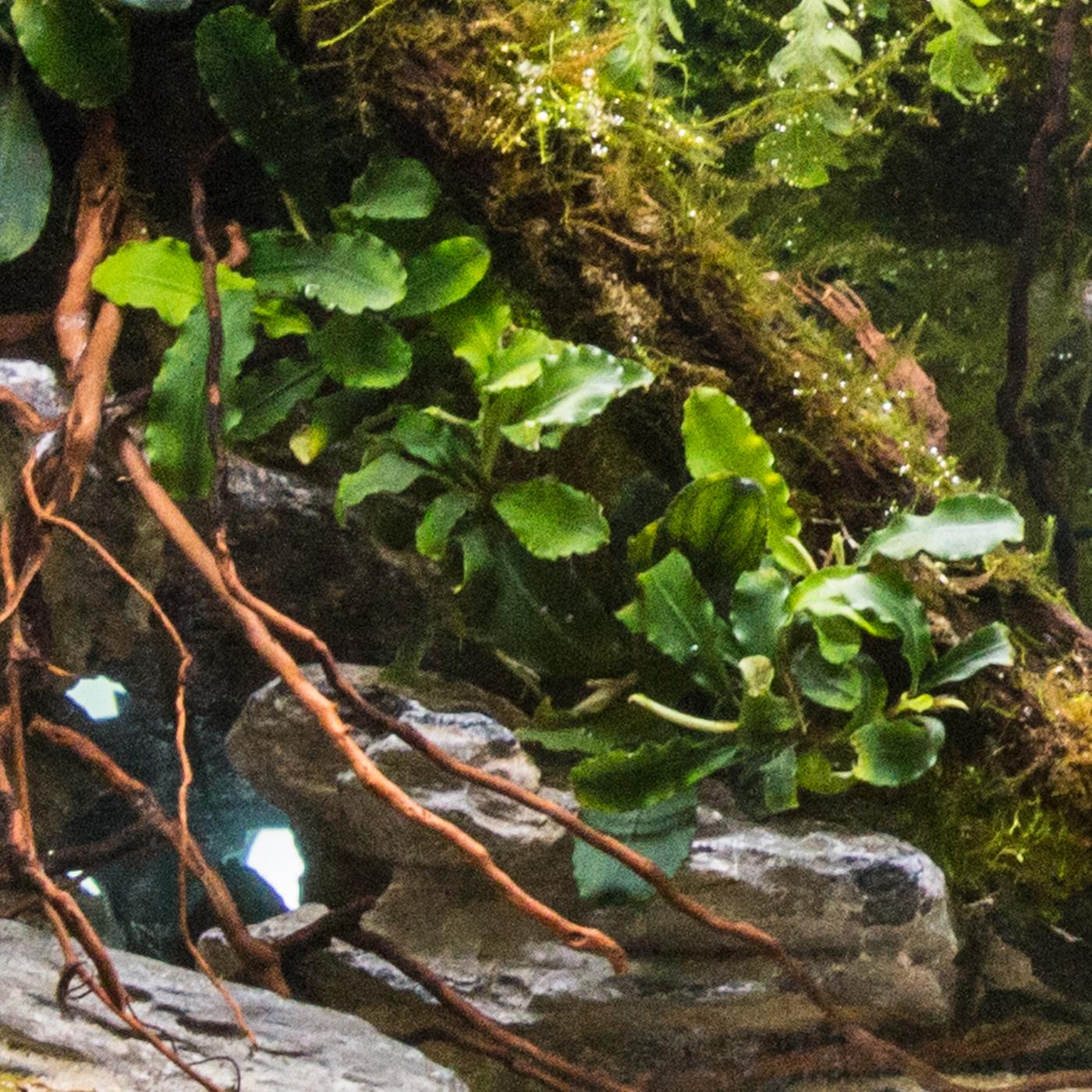 Bucephalandra'Green Wavy' -