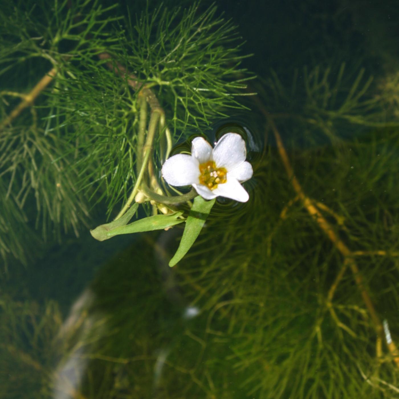 Cabomba caroliniana flower 1 (1 of 1).jpg