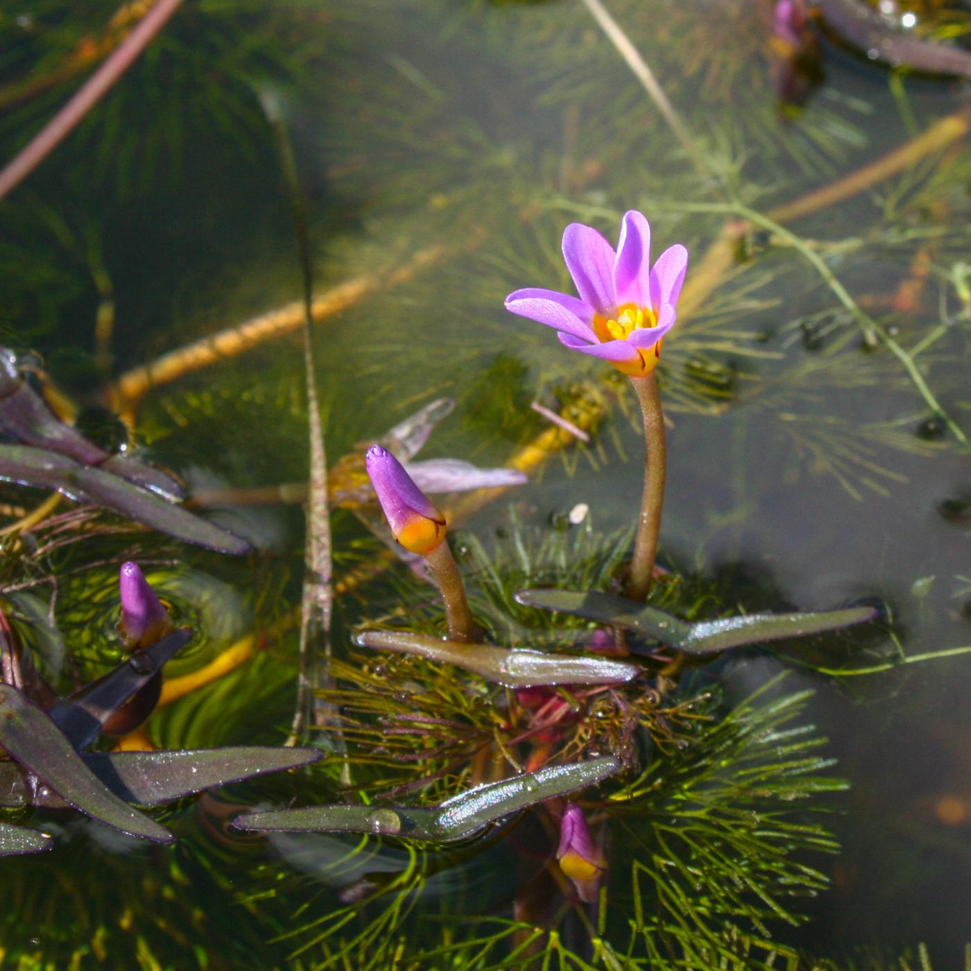 Cabomba furcata flower (1 of 1).jpg