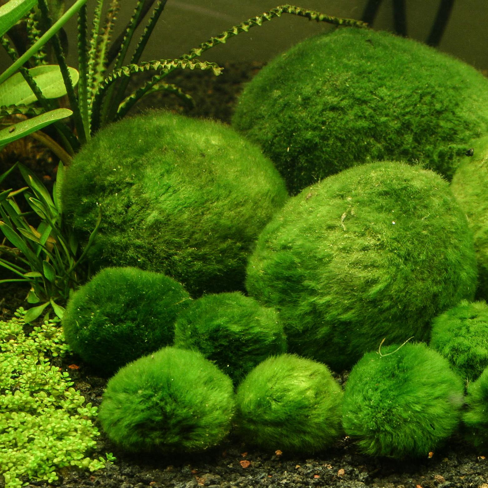moss balls.jpg