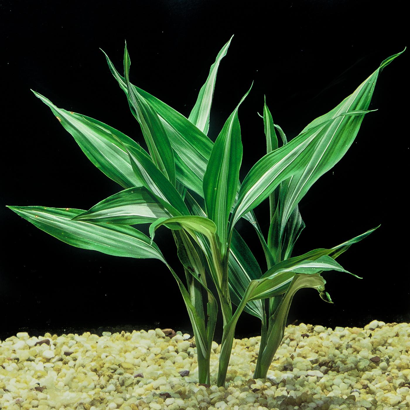 Dracaena borinquensis - (Terrarium plant)