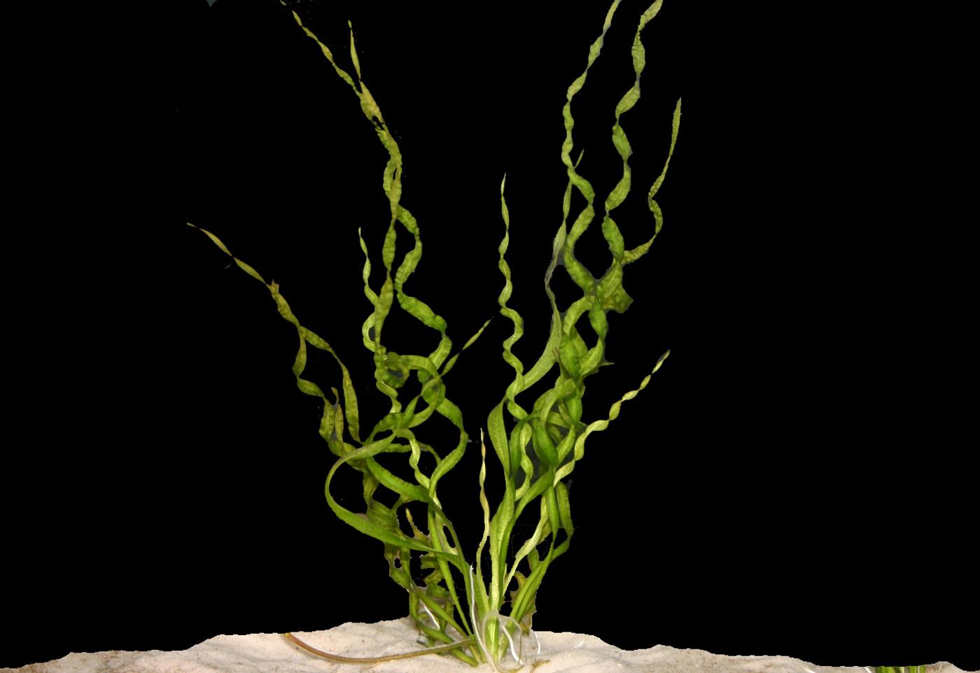 Helanthium bolivianum 'Vesuvius' -