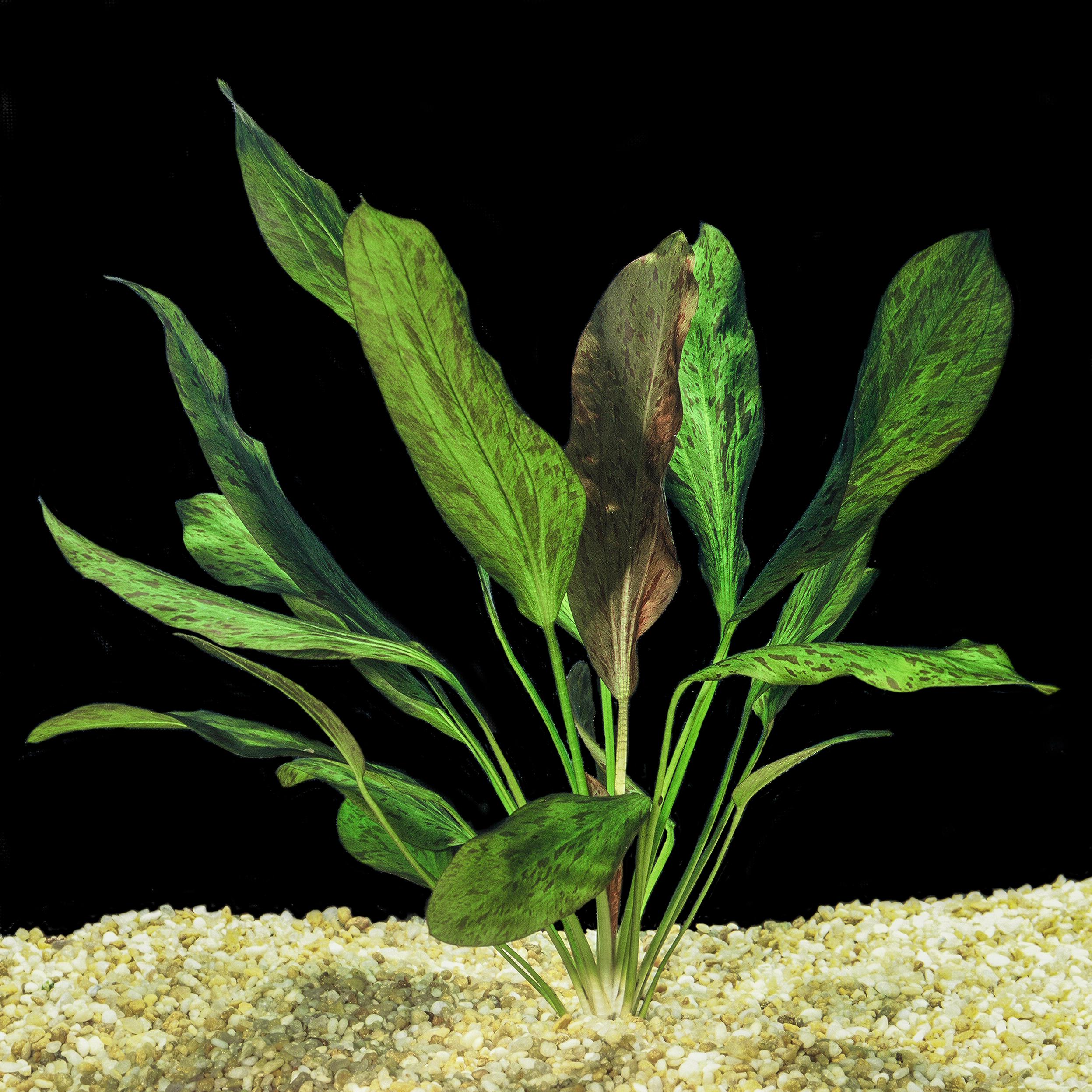 Echinodorus 'Ozelot' -