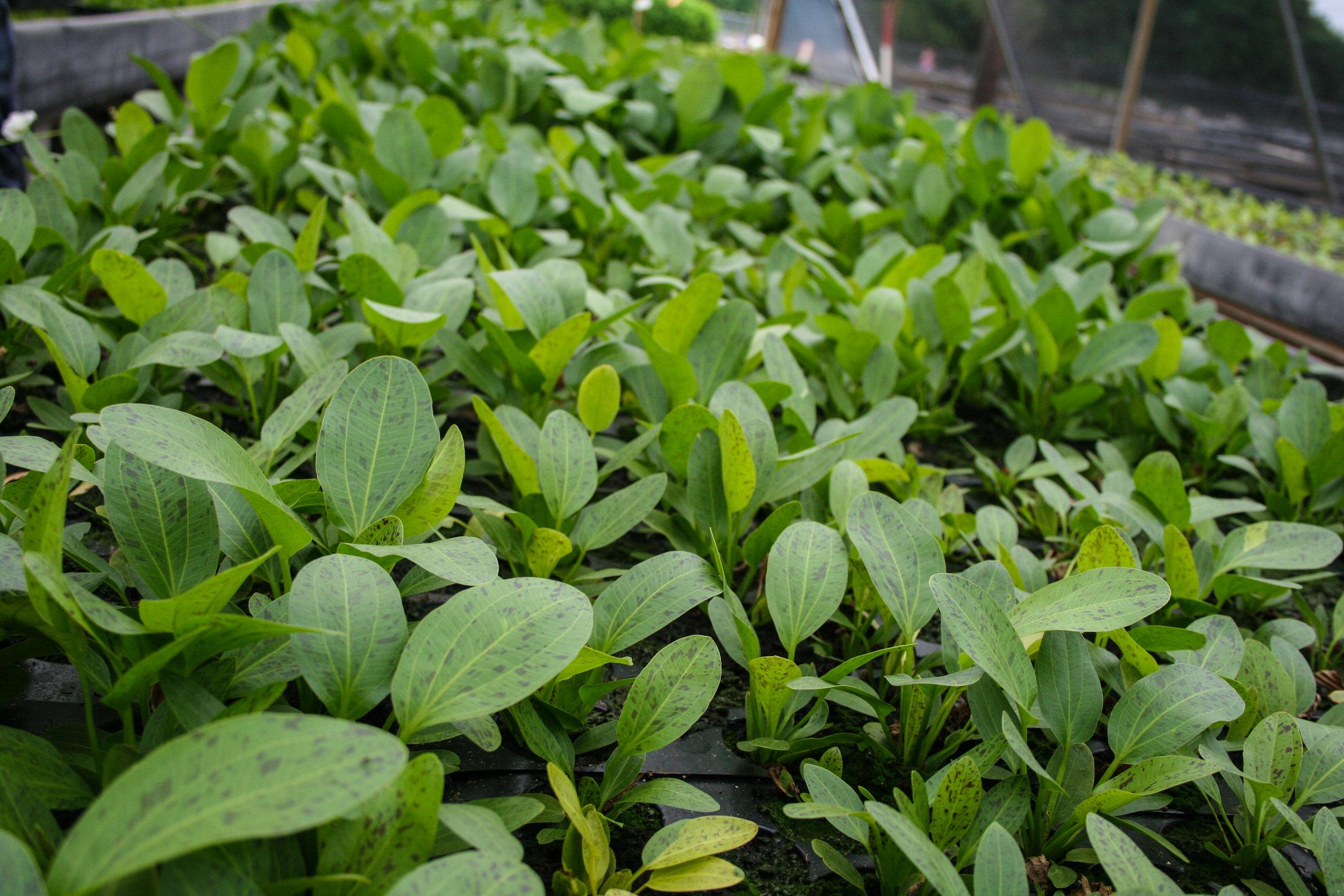 Ecinodorus Ozelot green nursery (1 of 1).jpg