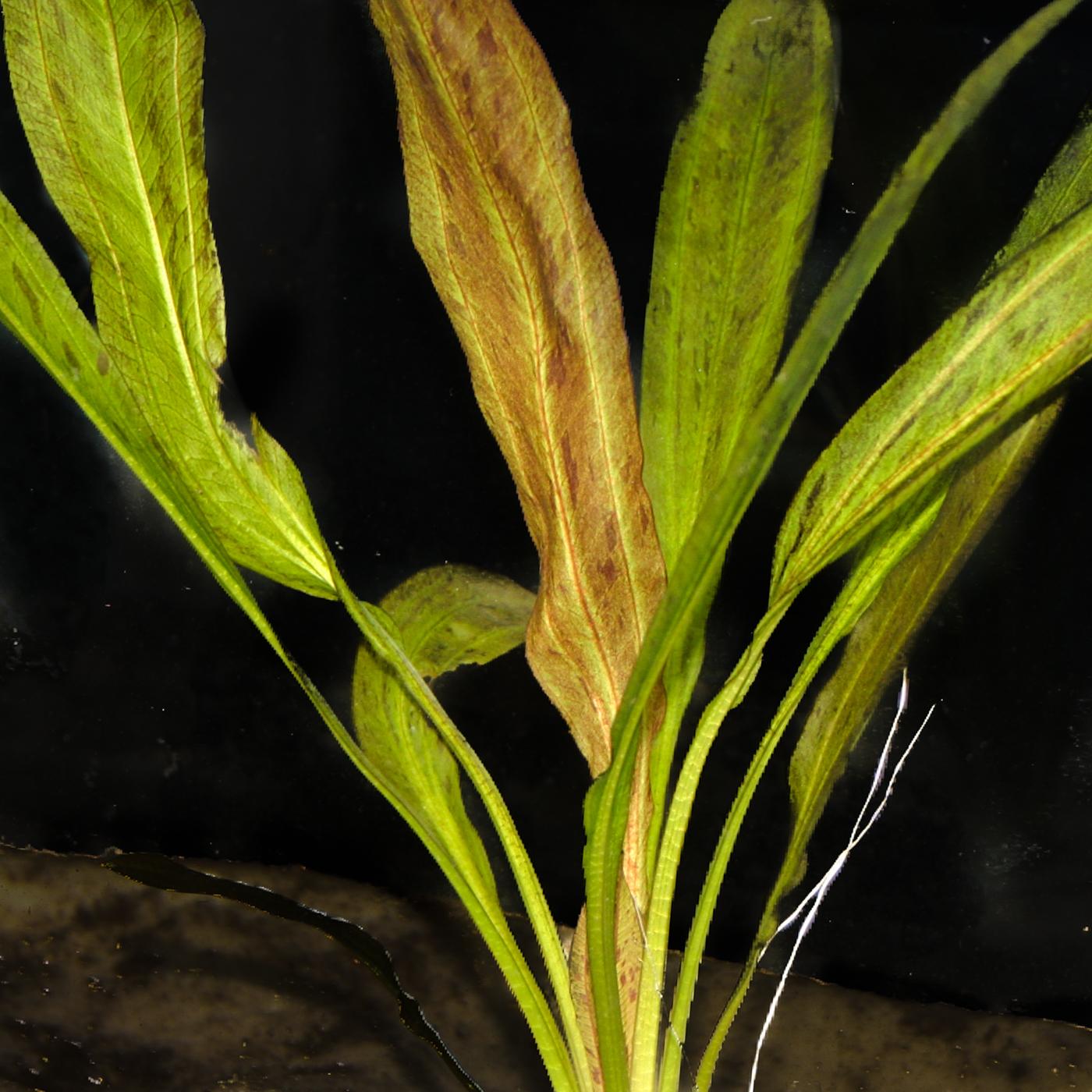 Echinodorus'Tanzende Feuerfeder' -