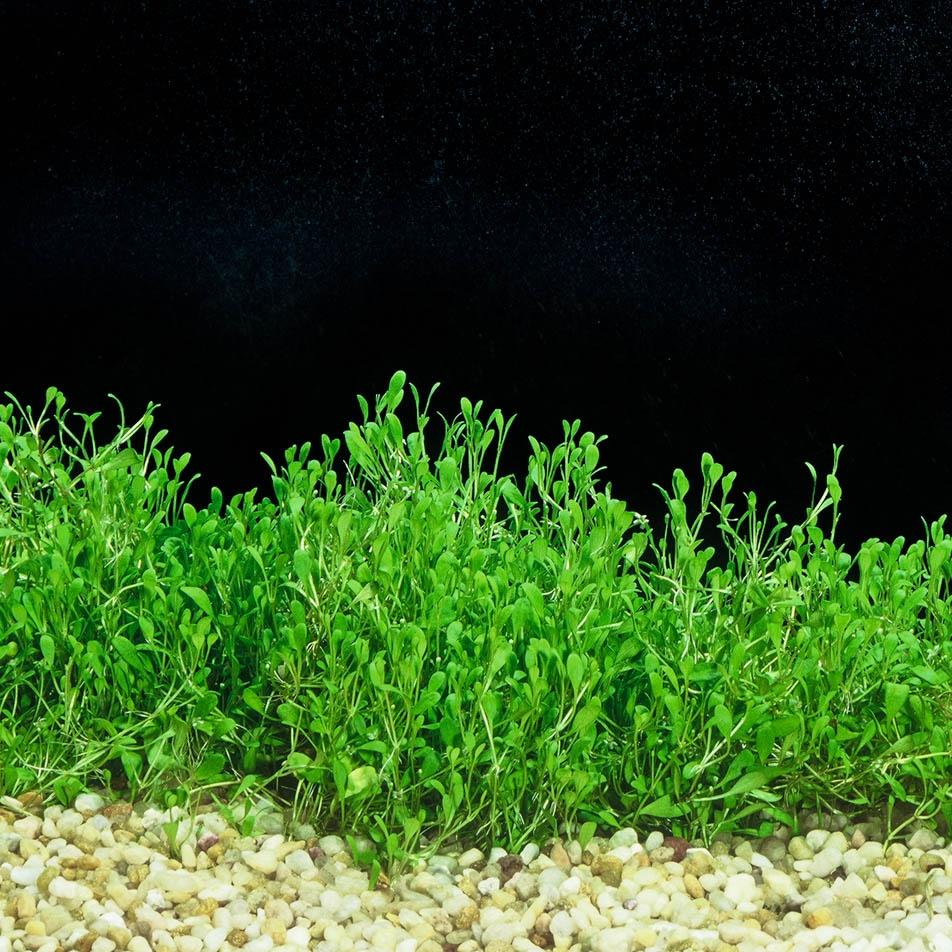 Glossostigma elatinoides -