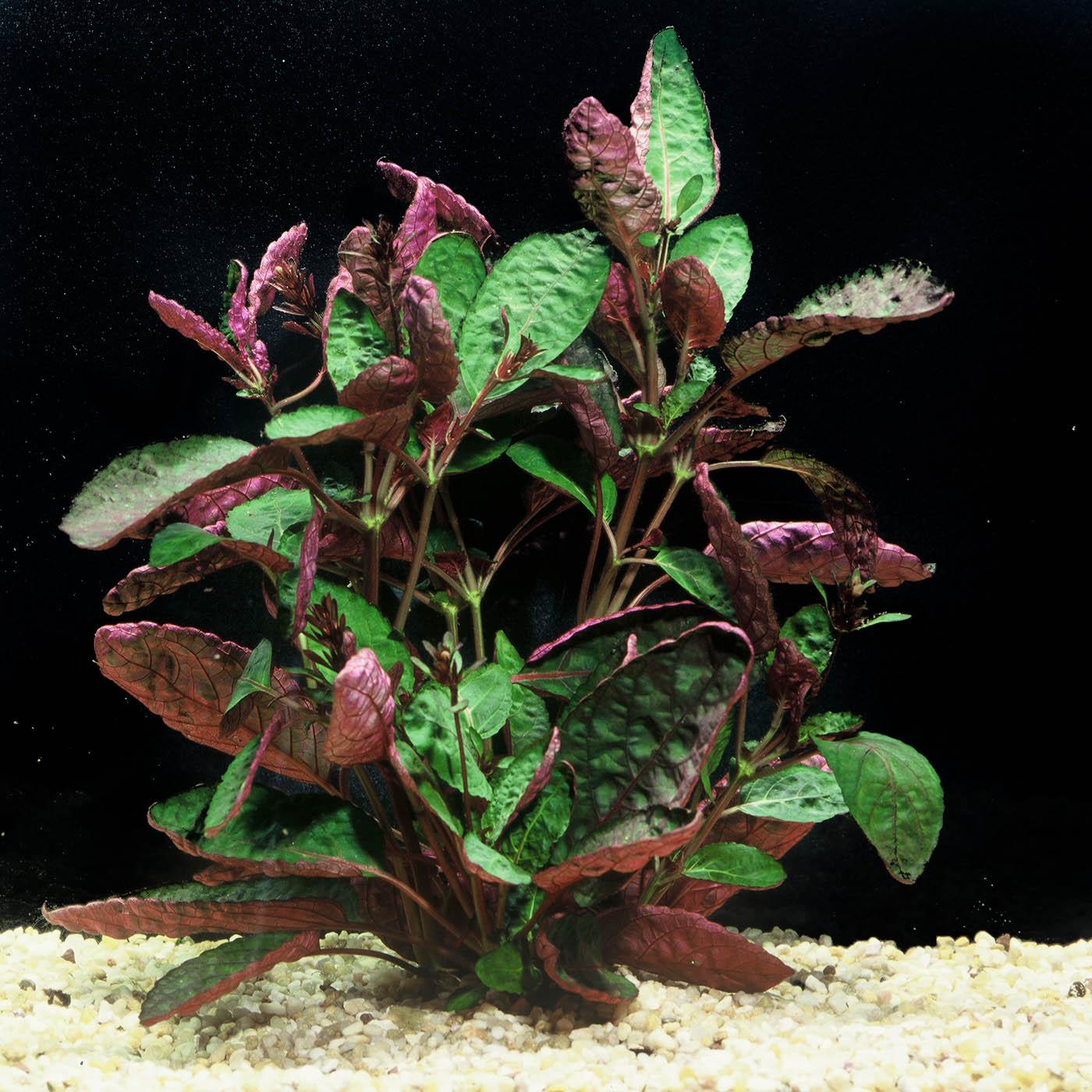 Hemigraphis exotica - (Terrarium plant)