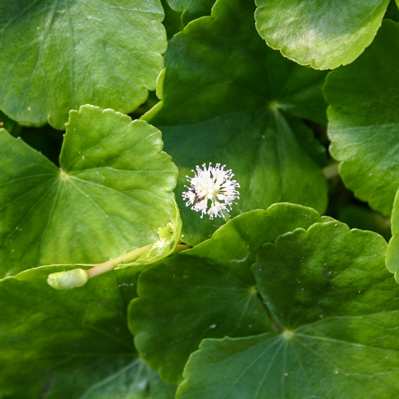 Hydrocotle leucocephala (1 of 1).jpg