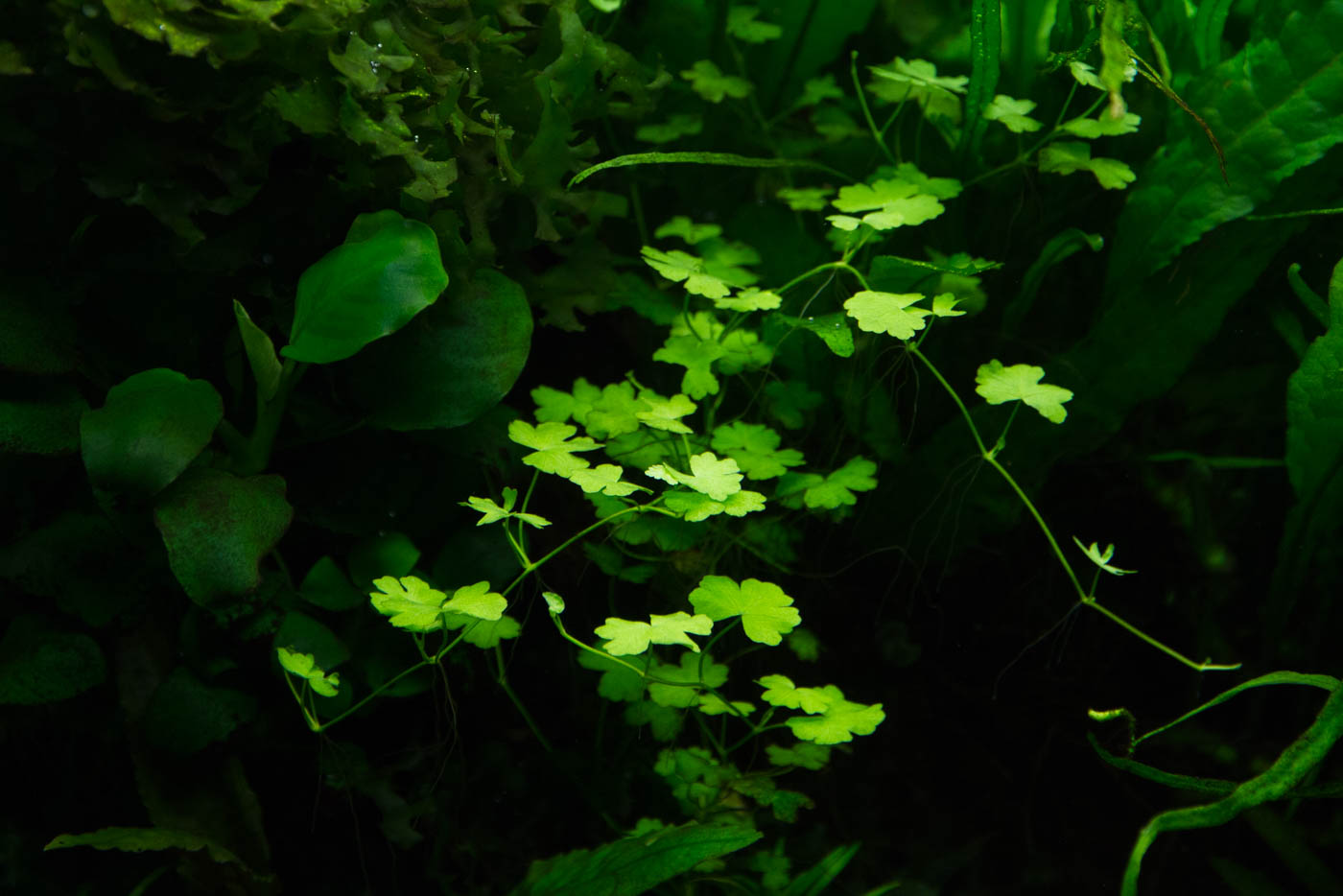 Hydrocotyle tripartita (3 of 1).jpg