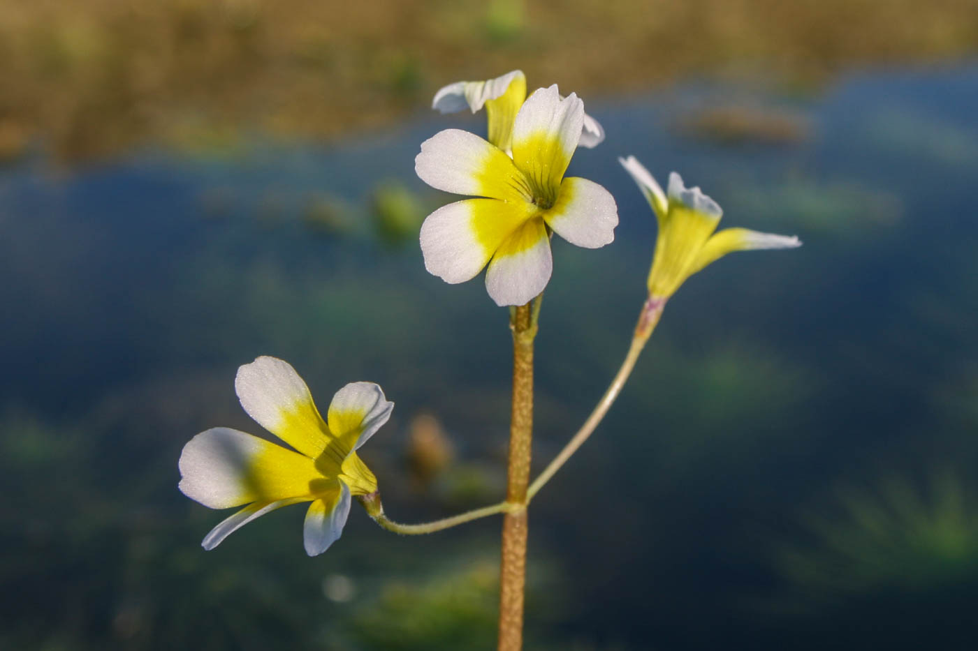 Hydrotriche hottoniflora flower (10 of 1).jpg
