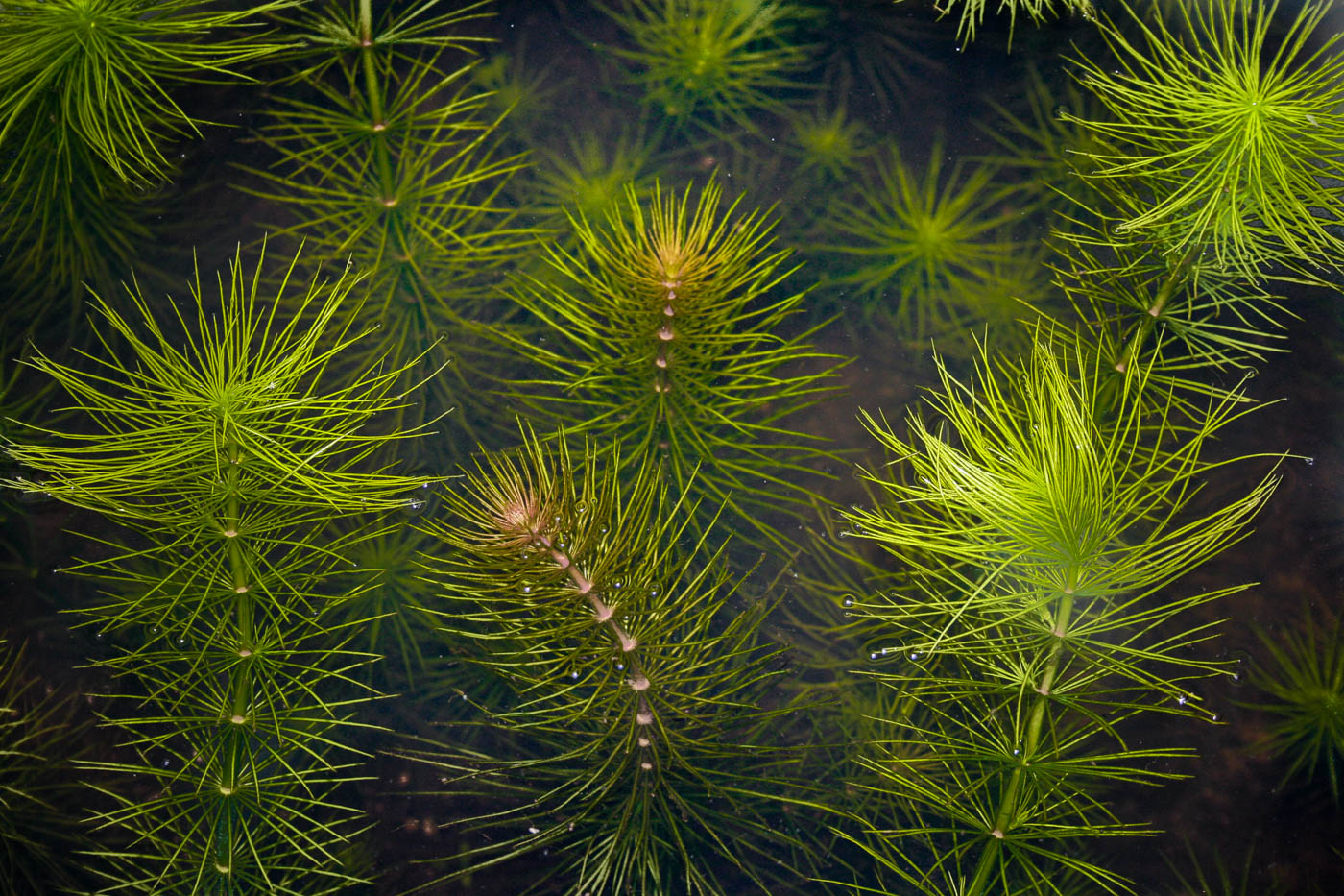 Hydrotriche hottoniflora  (10 of 1).jpg