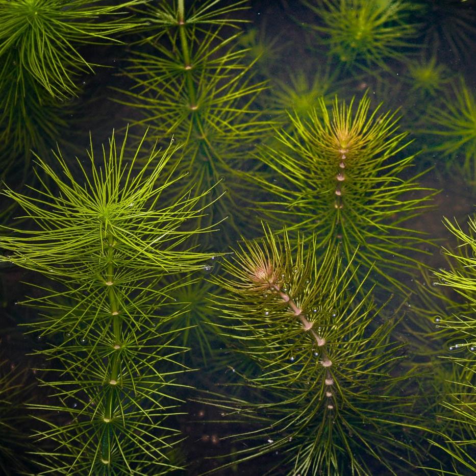 Hydrotriche hottoniiflora -
