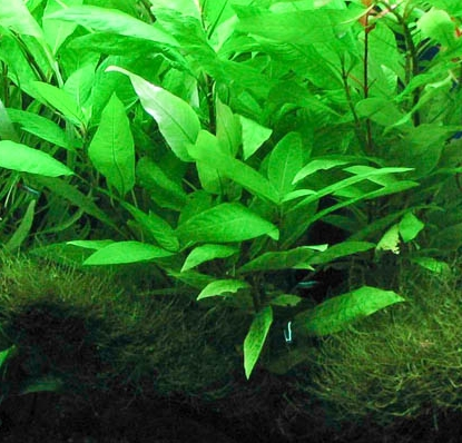 Hygrophila corymbosa -