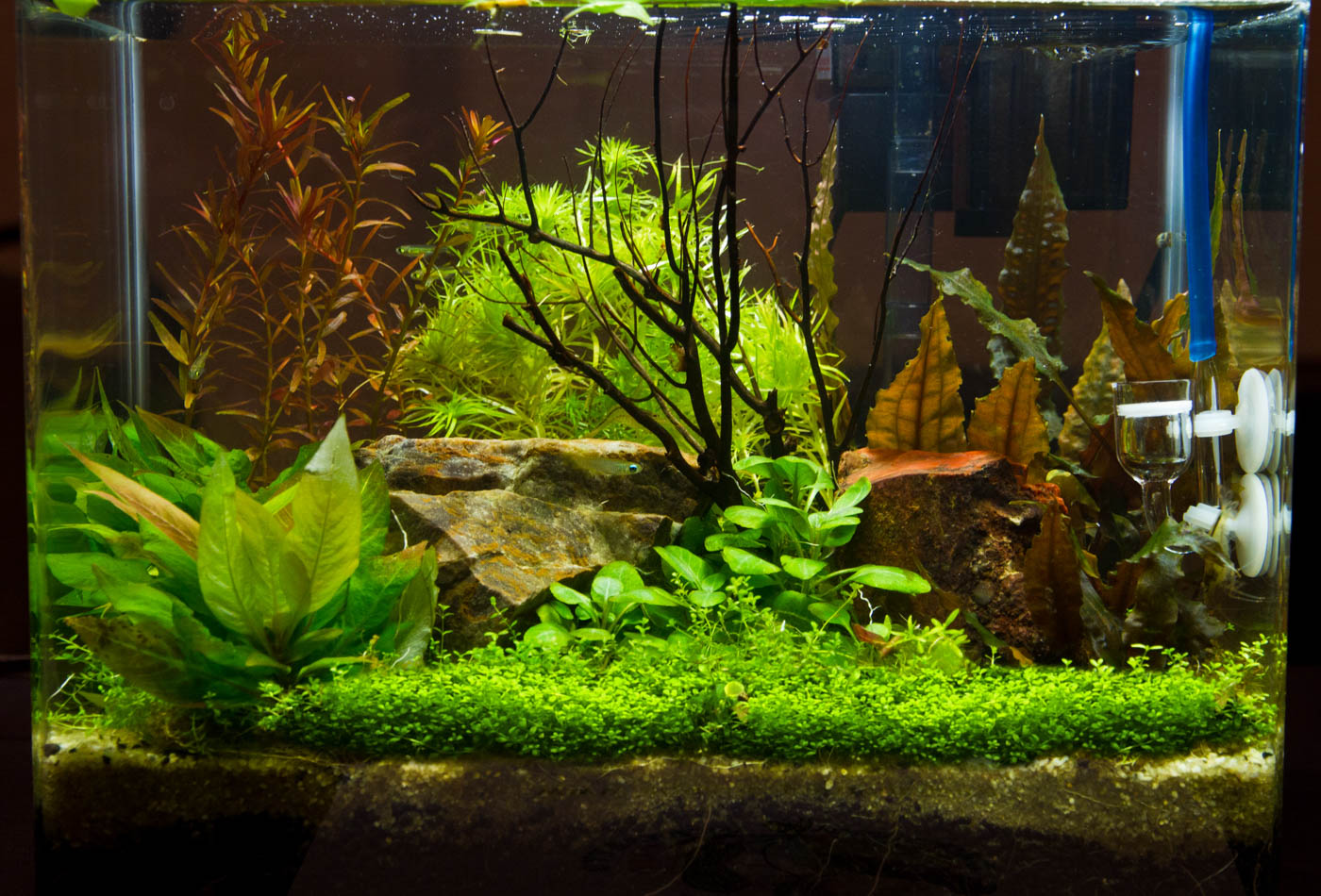 Hygrophila 'Kompact' Aquarium (2 of 1).jpg