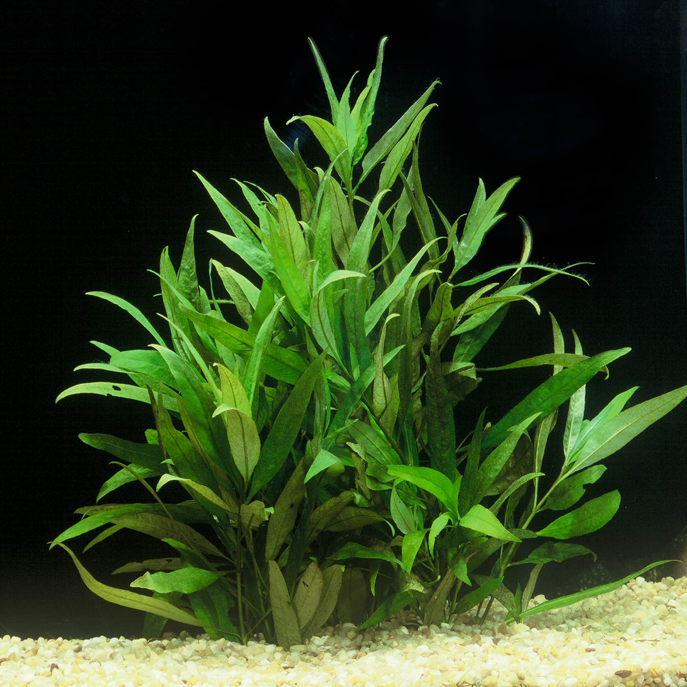 Hygrophila corymbosa 'Siamensis' -