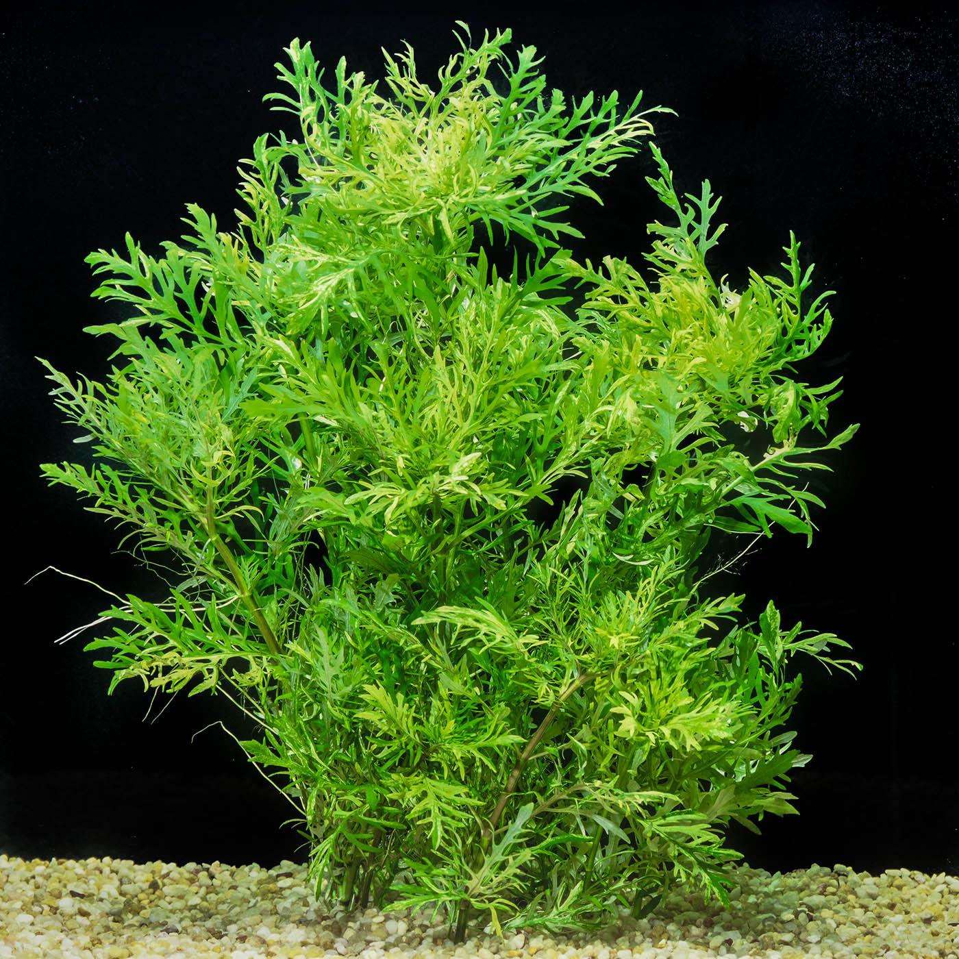 Hygrophila difformis -