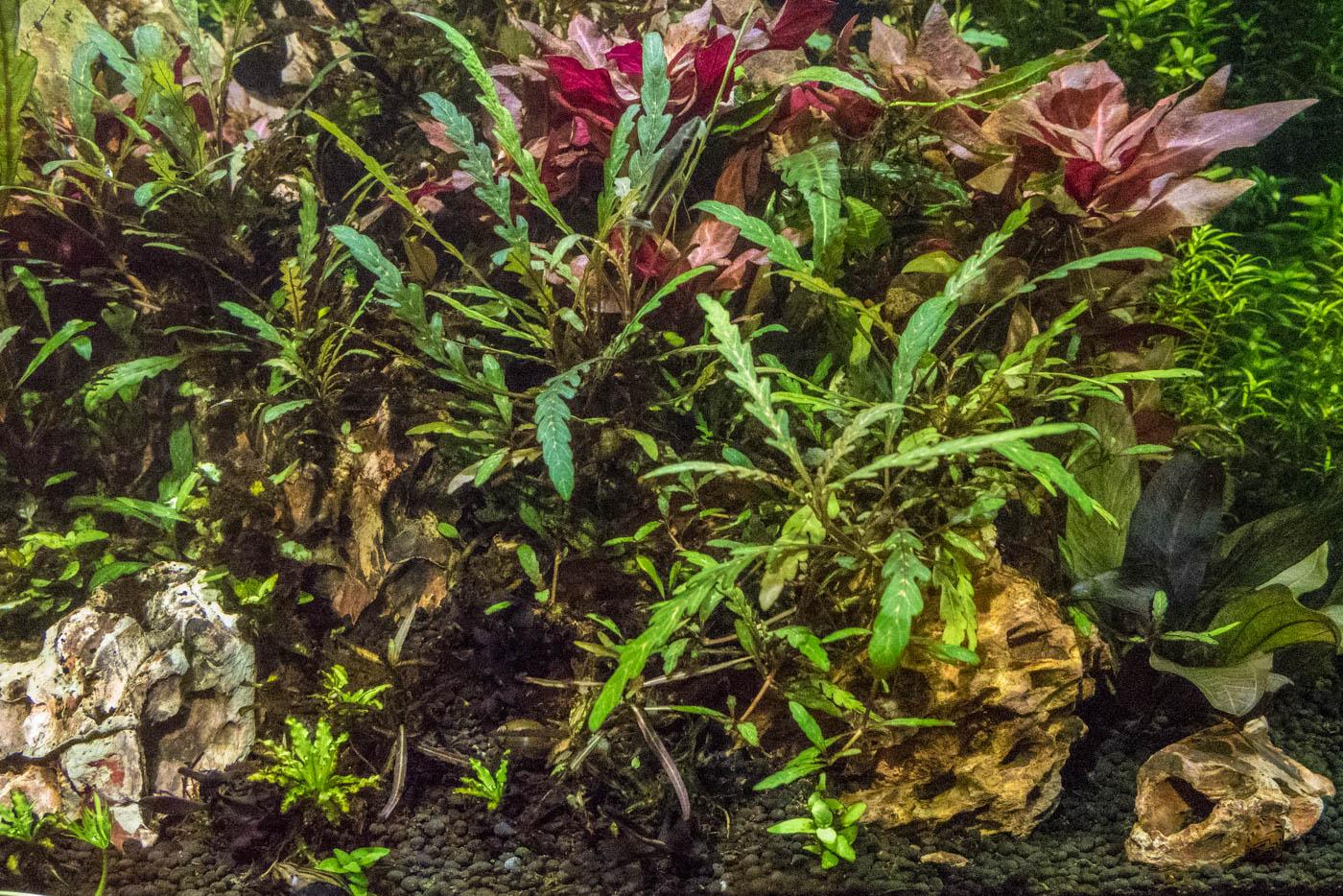 Hygrophila pinnatifida -