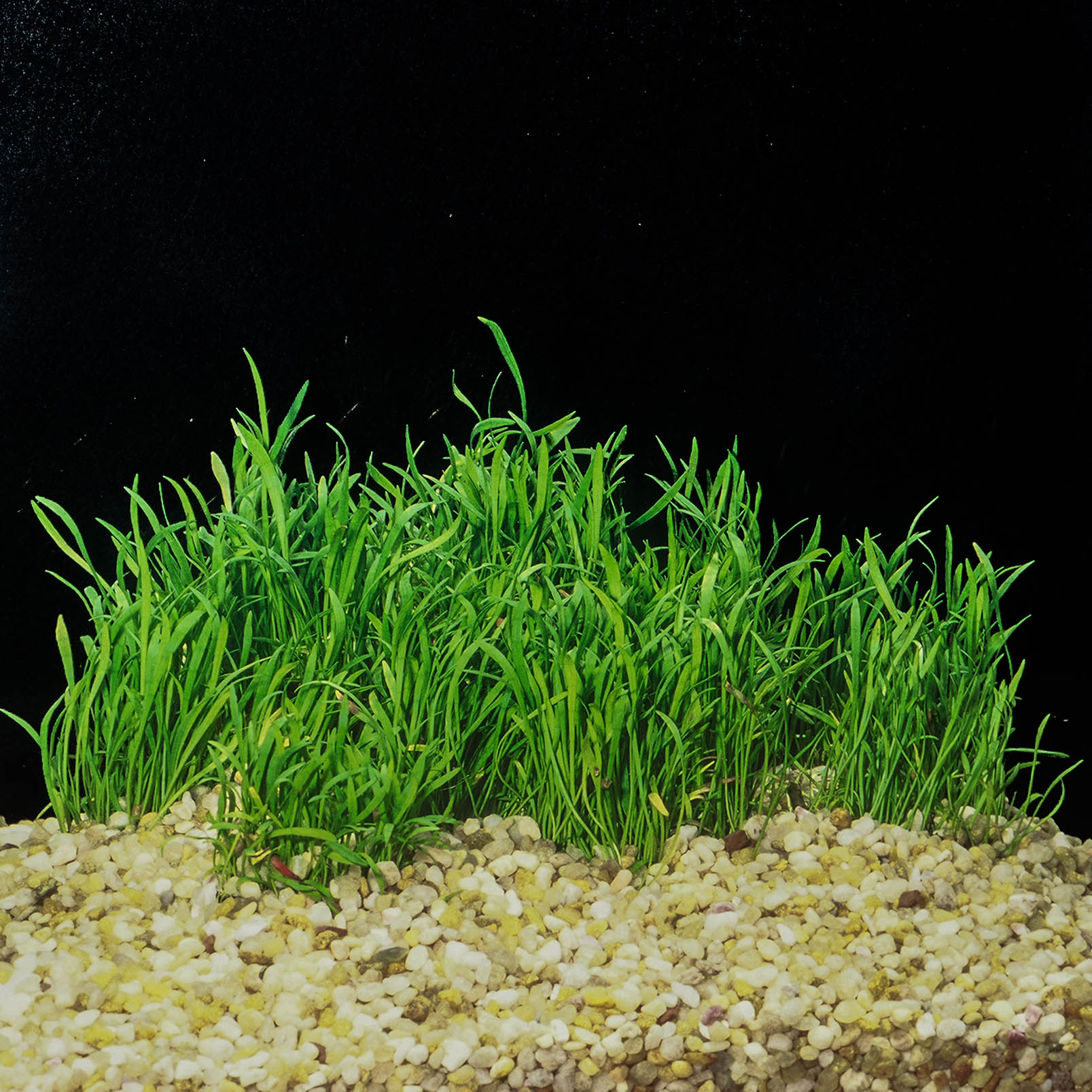 Lilaeopsis braziliensis (6 of 1).jpg