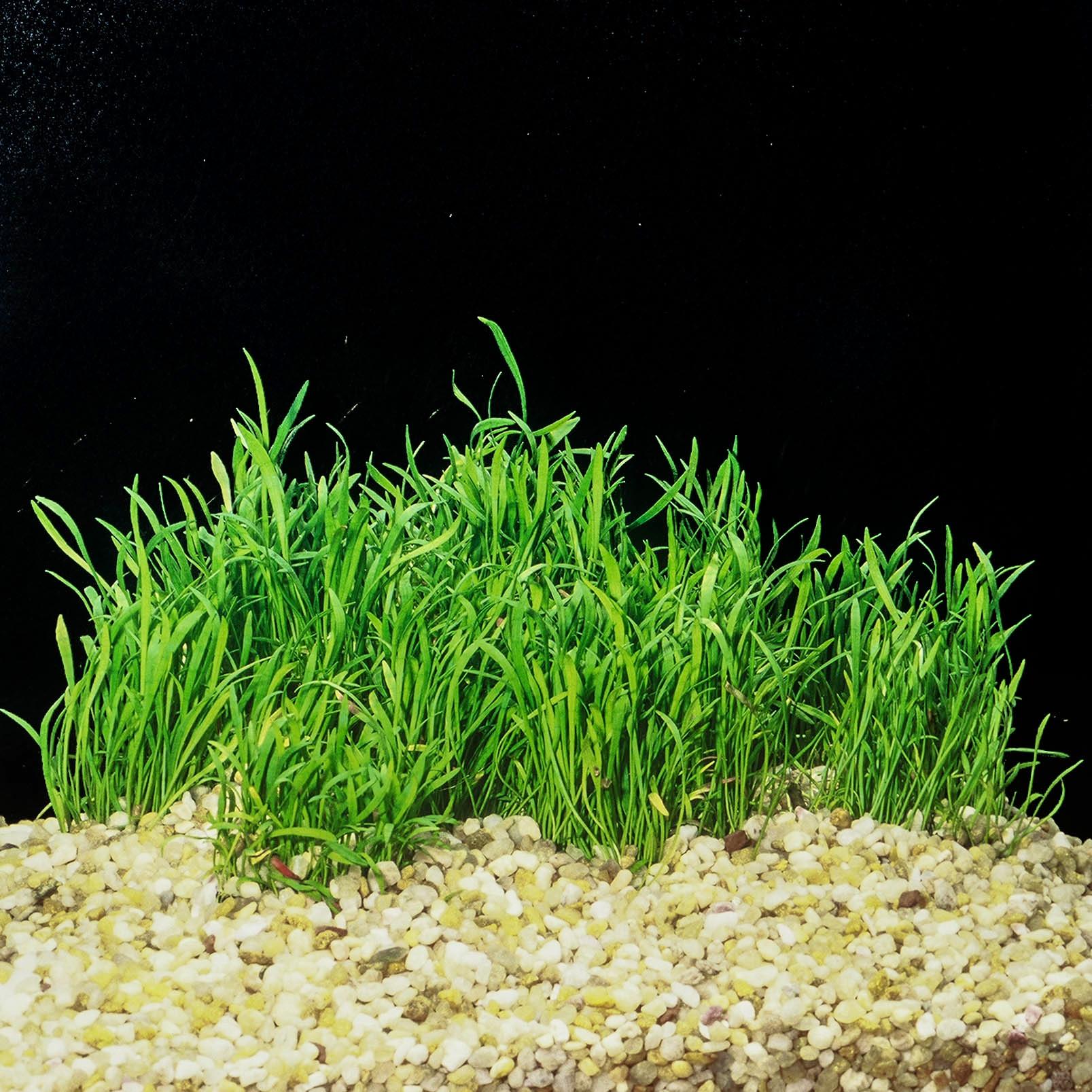 Lilaeopsis brasiliensis -