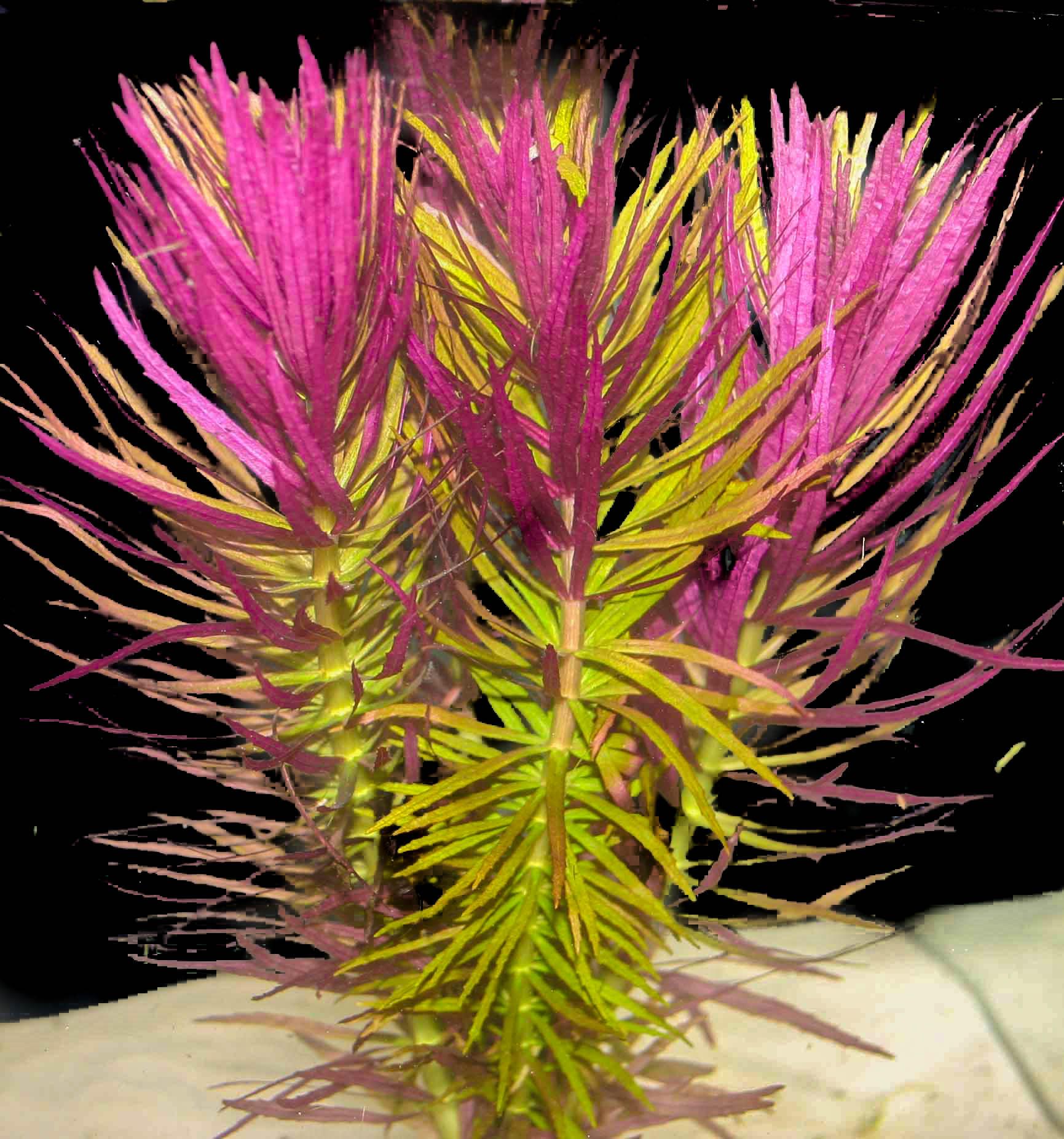 Limnophila hippuridoides -