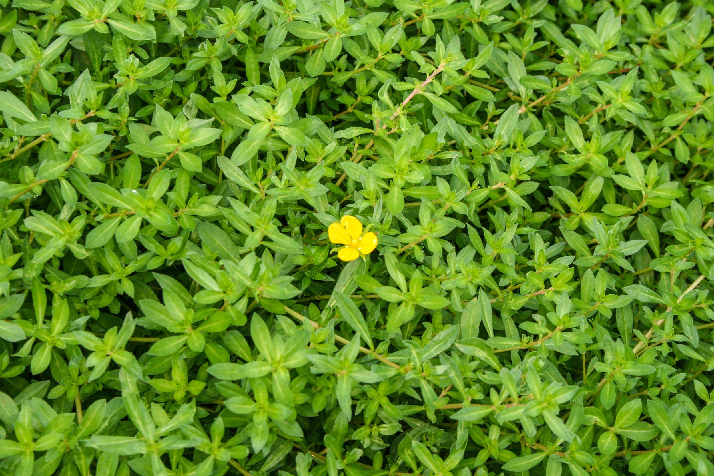 Ludwigia arcuata 2 (1 of 1).jpg