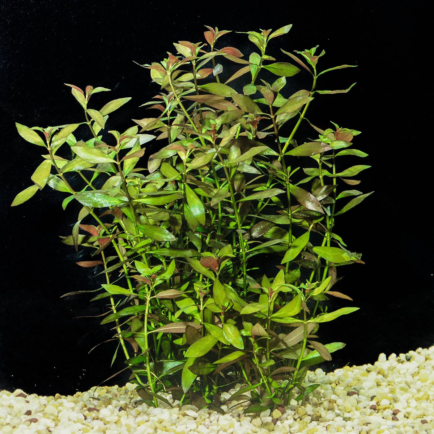 Ludwigia palustris -