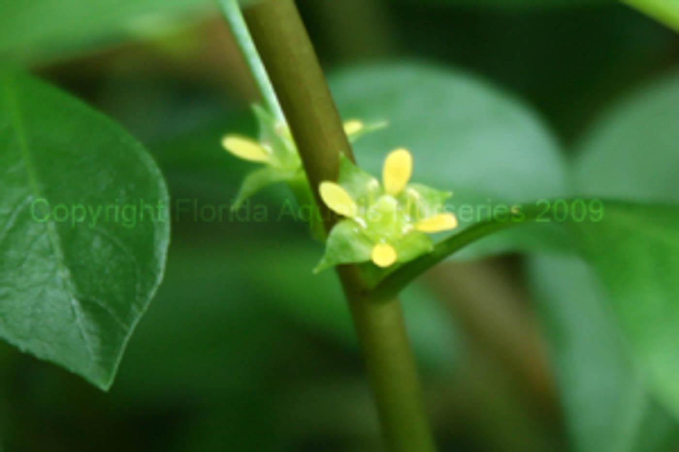 Ludwigia repens flower 300.jpg