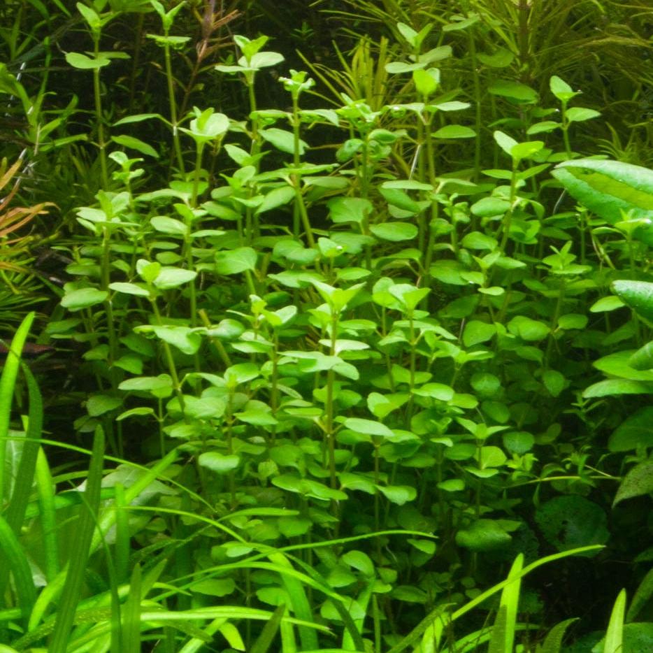 Clinopodium cf. brownei -