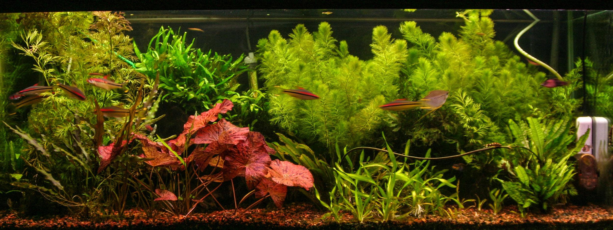 Myriophyllum mattogrosense 2 (1 of 1).jpg