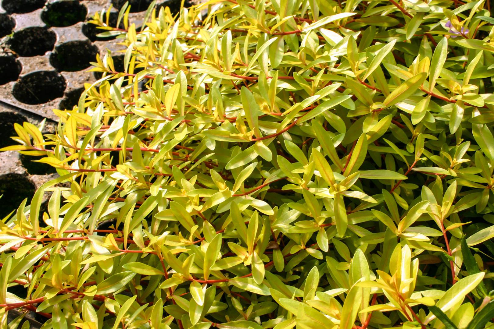 Ammannia pedicellata 'Golden' emersed.jpg