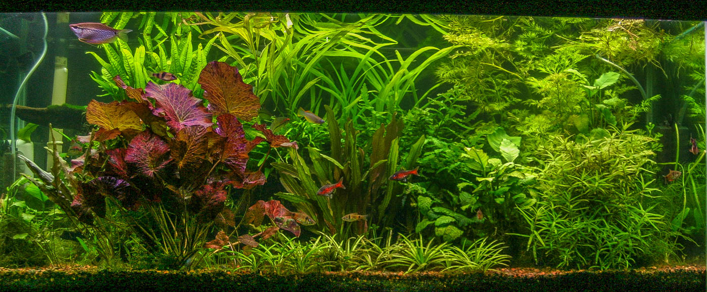 Nymphaea 'red' tank (1 of 1).jpg
