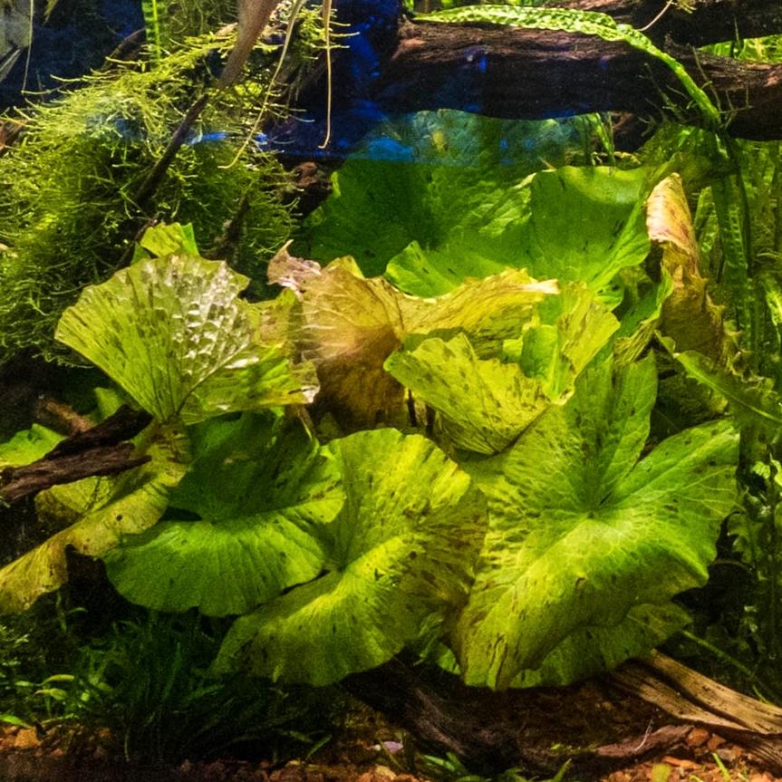 Nymphaea lotus 'Green' -