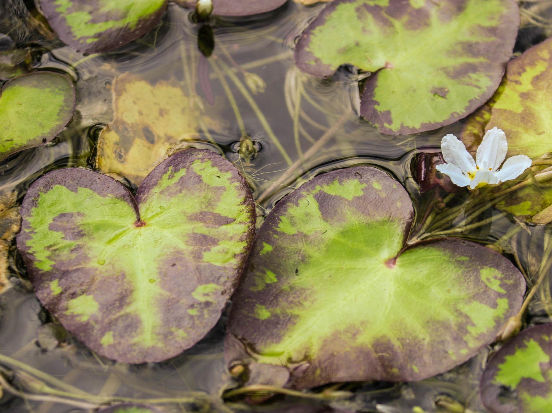 Nymphoides aquatica (1 of 1).jpg