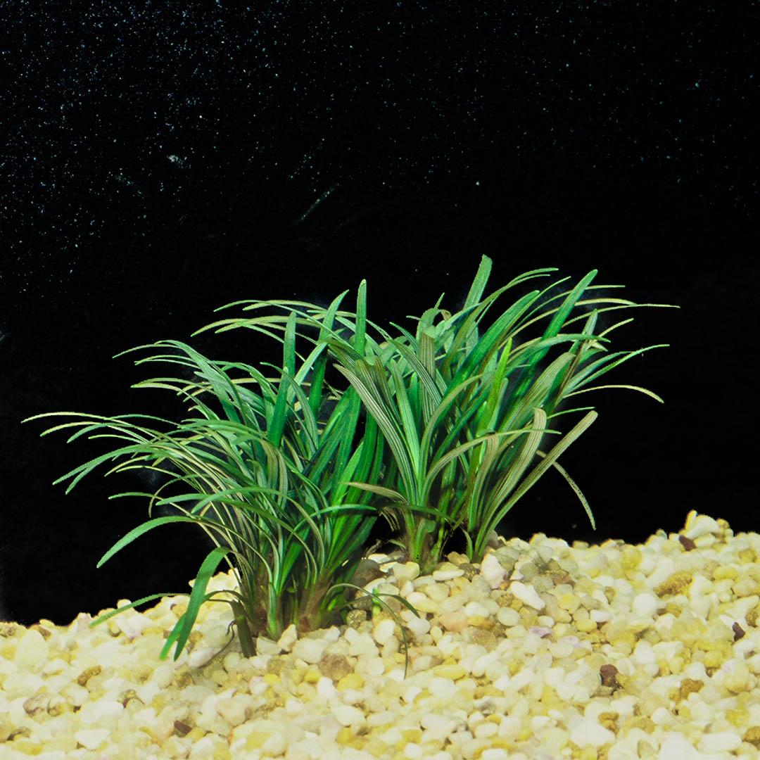 Ophiopogon japonica 'Kyoto Dwarf' - Terrarium plant