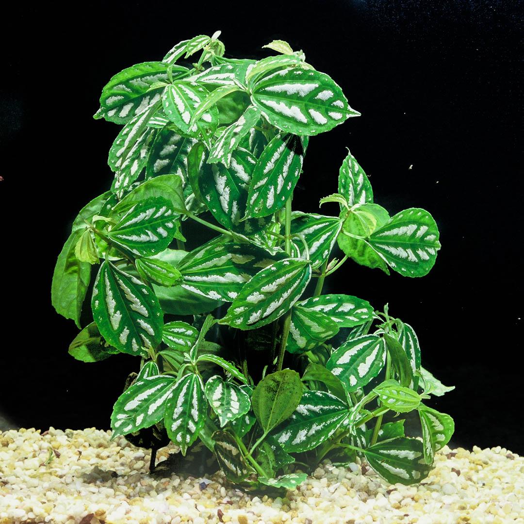 Pilea cadierei - Terrarium plant