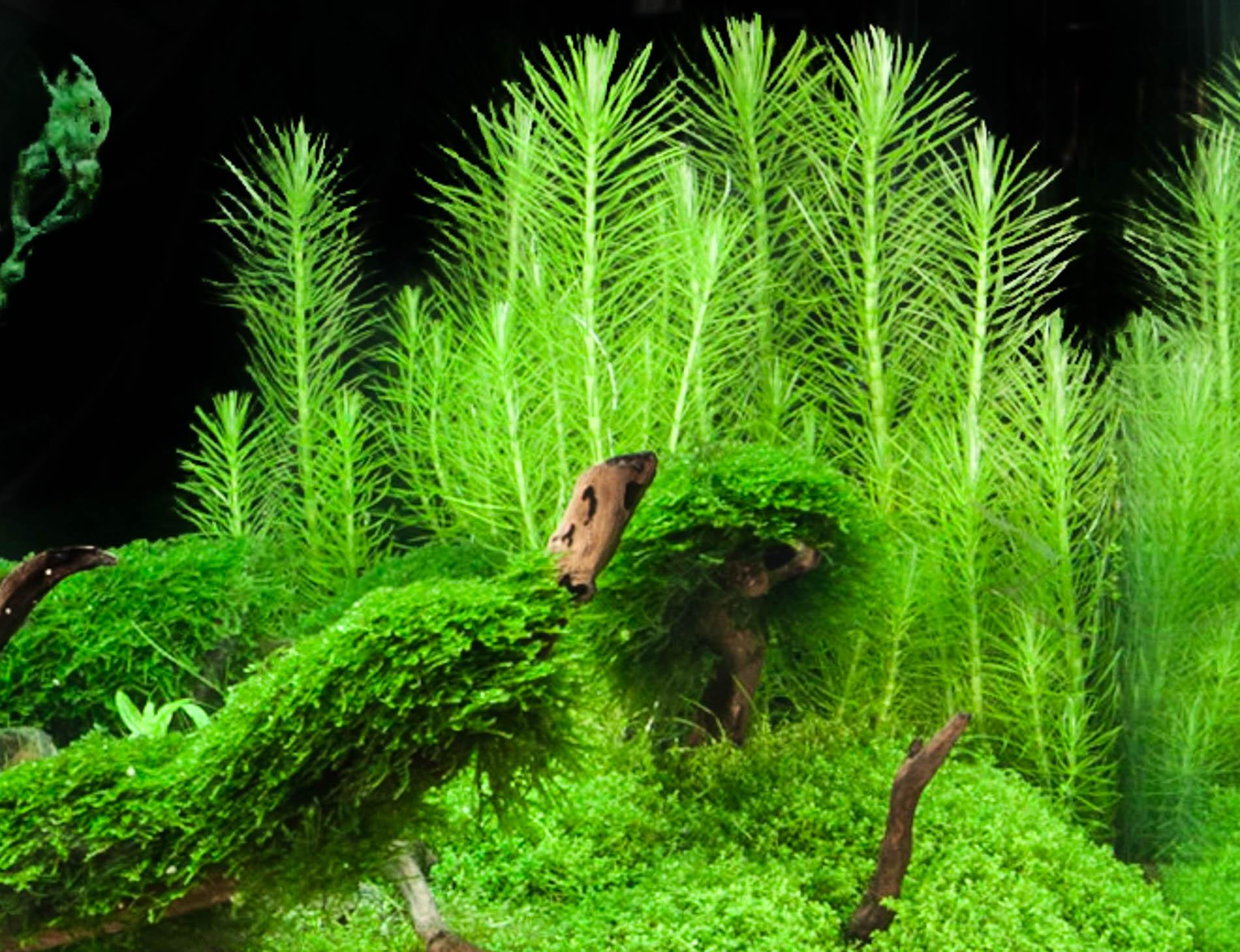 Pogostemon erectus in tank (1 of 1).jpg