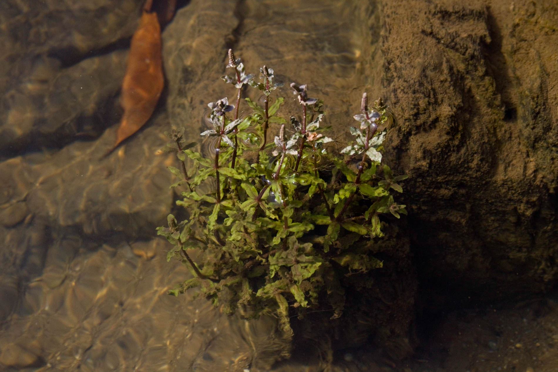 Pogostemon helferi submersed wild (1 of 1).jpg