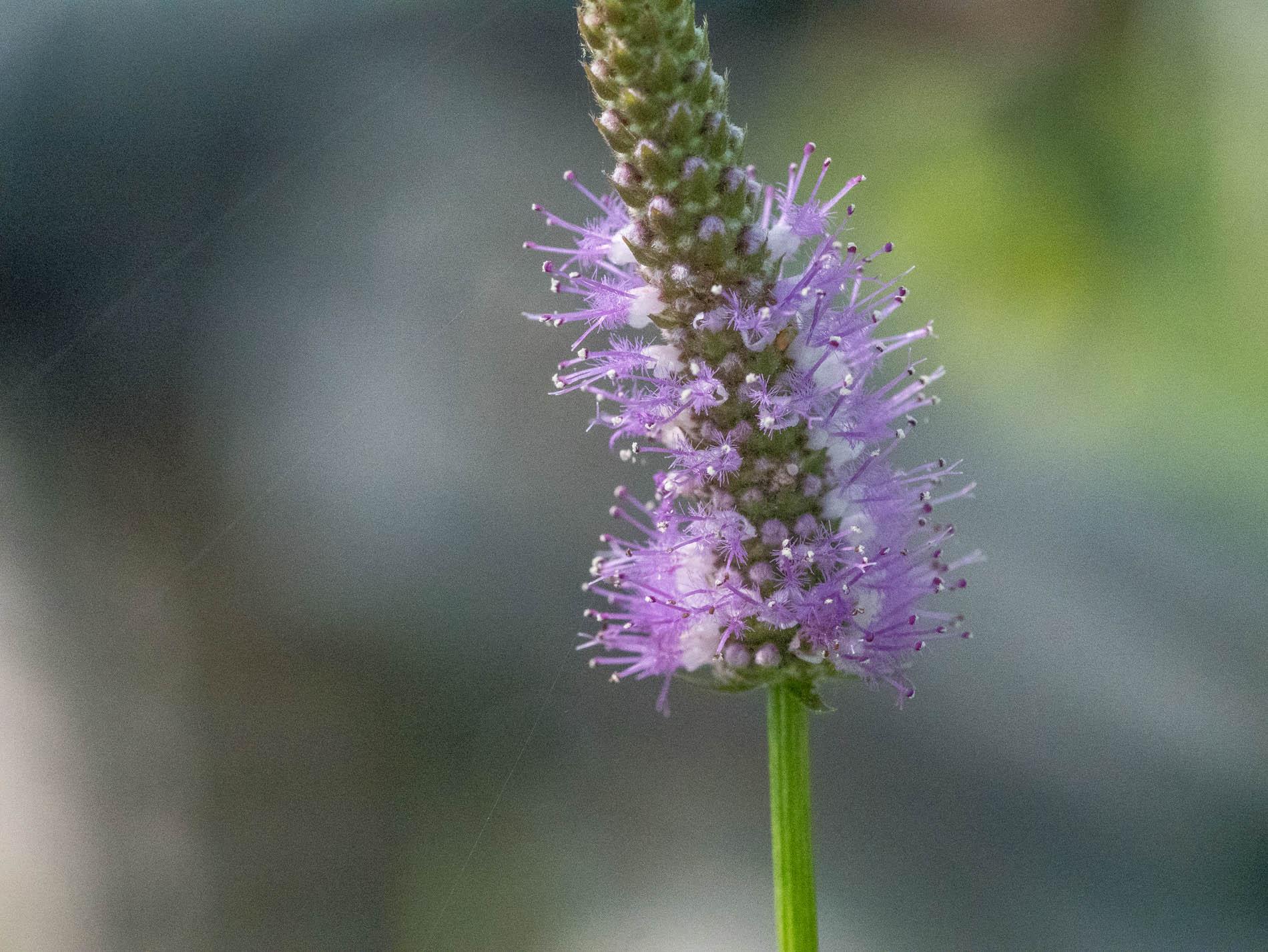 Pogostemon stellatus flower (1 of 1).jpg